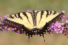 Tiger Swallowtail (papilio glaucas) Butterfly Royalty Free Stock Images
