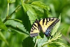 Tiger Swallowtail Papilio glaucus. On vegetation at Blackhawk Springs Forest Prerve Illinois Royalty Free Stock Photo
