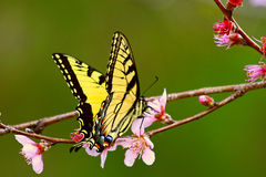Tiger swallowtail on peach blossom royalty free stock images