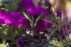 Tiger Swallowtail on a Pink Flower. A tiger swallowtail butterfly lands on a pink petunia in a backyard garden stock images