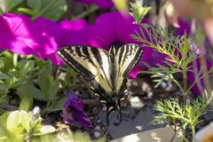 Tiger Swallowtail on a Pink Flower. A tiger swallowtail butterfly lands on a pink petunia in a backyard garden stock photos