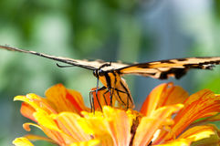 Tiger swallowtail pollinating a flower. Stock Photos