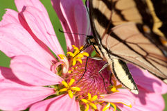 Tiger swallowtail pollinating a flower. Stock Images