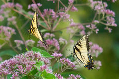 Tiger Swallowtail Pursuiit. Two male tiger swallowtails are in flight in pursuit of defending their personal territory among purple wildflowers blooming in late Stock Photo