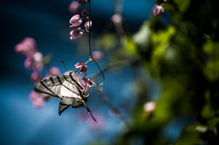 Tiger swallowtail.. A shot of a tiger swallowtail butterfly on a pink flower Royalty Free Stock Photo