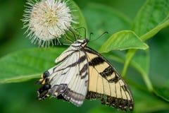 Tiger Swallowtail su Buttonbush Immagine Stock Libera da Diritti