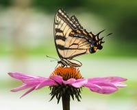Tiger Swallowtail su Coneflower Fotografia Stock
