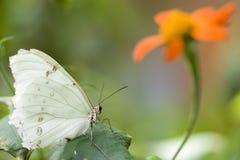 Tiger Swallowtail su un fiore Fotografie Stock Libere da Diritti