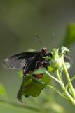 Tiger Swallowtail sul fiore arancio Immagini Stock