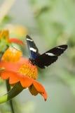 Tiger Swallowtail sul fiore arancio Immagini Stock Libere da Diritti