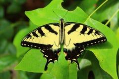 Tiger Swallowtail sulla foglia Immagine Stock Libera da Diritti