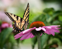 Tiger Swallowtail sur Coneflower Photographie stock libre de droits