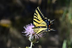 Tiger Swallowtail on Thistle Royalty Free Stock Images