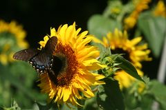 Tiger Swallowtail-vlinder op zonnebloem royalty-vrije stock foto's