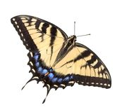 Tiger Swallowtail on white. A tiger swallowtail butterfly is shown with open wings on a white background Royalty Free Stock Images
