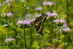 Tiger Swallowtail Royalty Free Stock Images