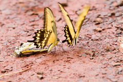 Tiger Swallowtail yellow butterfly Royalty Free Stock Photography