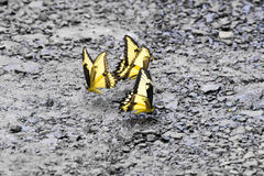 Tiger Swallowtail yellow butterfly Royalty Free Stock Images