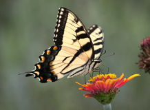 Tiger swallowtail on zinnia Stock Image