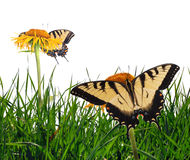 Tiger swallowtails Royalty Free Stock Photo