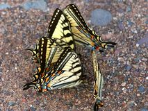 Tiger Swallowtails (Papilio glaucus) Stock Photos