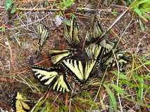 Tiger Swallowtails (Papilio glaucus) Stock Image
