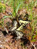 Tiger Swallowtails Papilio glaucus. Gathered in northern Wisconsin Stock Photography