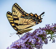 Tiger Swalowtail Butterfly Nectaring on Lilacs Stock Photo