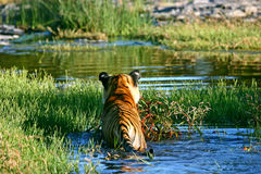 Tiger - swim Royalty Free Stock Images