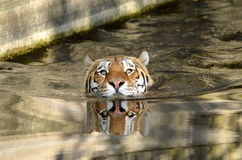 Tiger swimmer. Tiger (Latin: Panthera tigris) is the largest and most powerful living cat in the cat family. The male in amurtigeren, also called the Royalty Free Stock Images