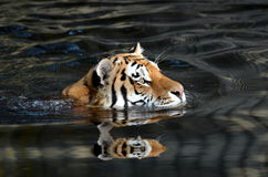 Tiger swimmer Royalty Free Stock Photos