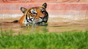 Tiger Swimming. Asian tiger swimming in a pool of a South Florida zoo royalty free stock photography