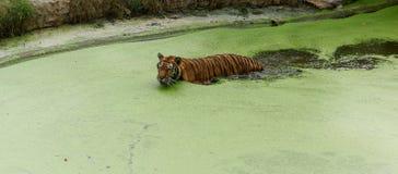 Tiger Swimming fotografia stock libera da diritti