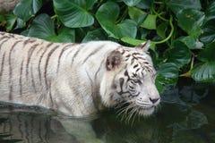 Tiger Swimming bianco Fotografia Stock Libera da Diritti