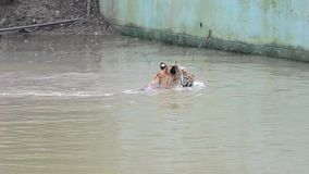 Tiger Swimming and Circling in Water. Royal Bengal Tiger Panthera Tigris Tigris Swimming and Circling in the Water Pool . Video showing a different behavior stock footage