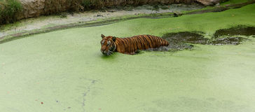 Tiger swimming. In green water Royalty Free Stock Photo