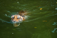 Tiger swimming in pond. A Malayan tiger swimming in pond Stock Photography