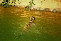 Tiger swimming in the pond. Royalty Free Stock Photography