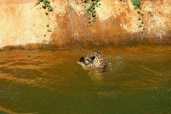 Tiger swimming in the pond. Royalty Free Stock Images