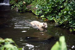 Tiger Swimming In River bianco Fotografia Stock