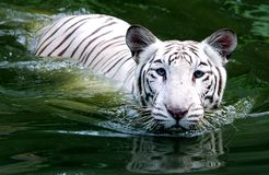 Tiger Swimming In The Water blanco imagen de archivo