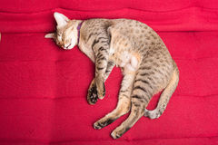 Tiger (tabby) cat relaxing. Sleepping on red sofa royalty free stock photo