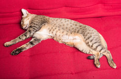 Tiger (tabby) cat relaxing. Sleepping on red sofa royalty free stock image
