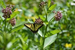 Tiger tail butterfly. Butterfly getting necture from a milkweed flower royalty free stock photos