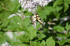 Tiger tail butterfly on lilacs. Tiger tail butterfly getting necture from the lilac flowers stock image
