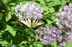 Tiger tail butterfly on lilacs. Tiger tail butterfly getting necture from the lilac flowers royalty free stock image