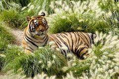 Tiger. Tajland asia power wildlife stock photography