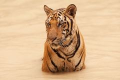 Tiger take bath Royalty Free Stock Photo