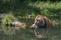 Tiger taking a bath Royalty Free Stock Image