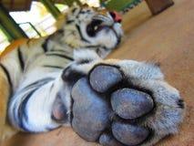 Tiger. Taking a big nap Royalty Free Stock Photos